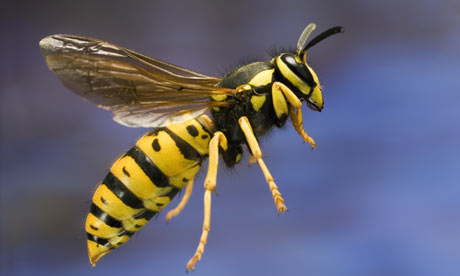 Does a Wasp Bite or Sting?   MD-Health.com