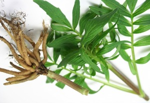 Does valerian root work for anxiety