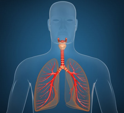 functions of respiratory system organs | md-health, Human Body